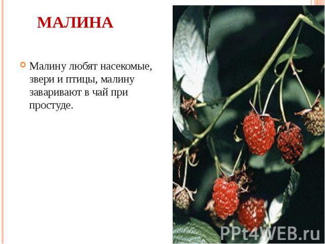 Малина Малину любят насекомые, звери и птицы, малину заваривают в чай при простуде.