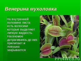 Венерина мухоловка На внутренней половине листа есть волосики которые выделяют л
