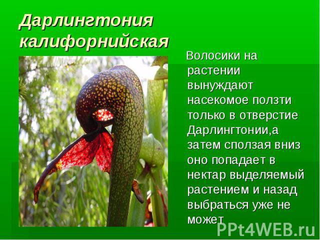 Дарлингтония калифорнийская Волосики на растении вынуждают насекомое ползти только в отверстие Дарлингтонии,а затем сползая вниз оно попадает в нектар выделяемый растением и назад выбраться уже не может
