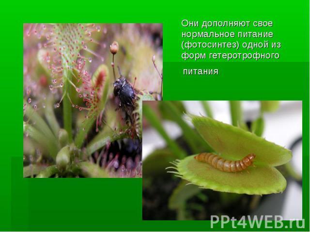 Они дополняют свое нормальноепитание (фотосинтез) одной из формгетеротрофного питания