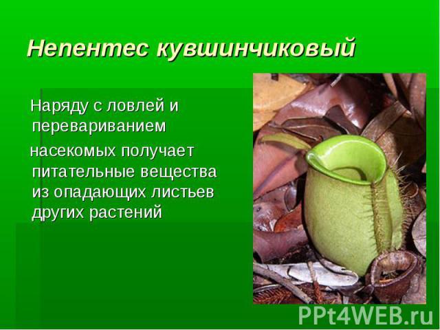 Непентес кувшинчиковый Наряду с ловлей и перевариванием насекомых получает питательные вещества из опадающих листьев других растений