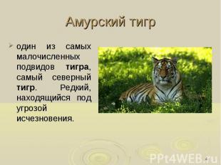 Амурский тигр один из самых малочисленных подвидов тигра, самый северный тигр. Р