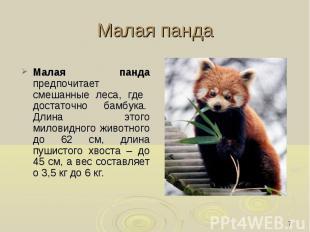 Малая панда Малая панда предпочитает смешанные леса, где достаточно бамбука. Дл
