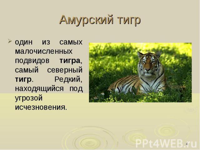 Амурский тигр один из самых малочисленных подвидов тигра, самый северный тигр. Редкий, находящийся под угрозой исчезновения.