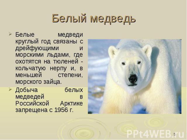 Белый медведь Белые медведи круглый год связаны с дрейфующими и морскими льдами, где охотятся на тюленей - кольчатую нерпу и, в меньшей степени, морского зайца. Добыча белых медведей в Российской Арктике запрещена с 1956 г.