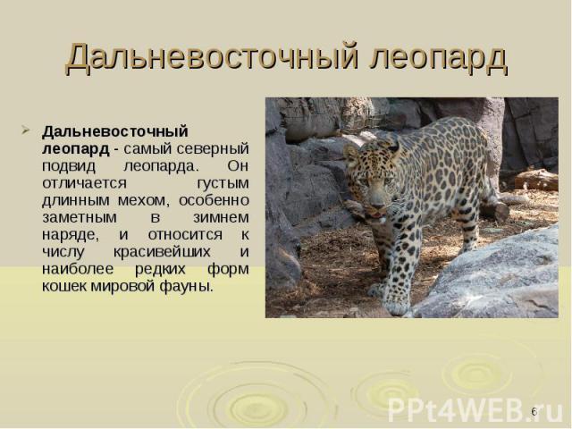 Дальневосточный леопард Дальневосточный леопард - самый северный подвид леопарда. Он отличается густым длинным мехом, особенно заметным в зимнем наряде, и относится к числу красивейших и наиболее редких форм кошек мировой фауны.