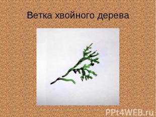 Ветка хвойного дерева