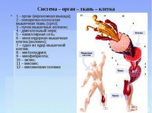 Система – орган – ткань – клетка 1 - орган (икроножная мышца);2 - поперечно-поло