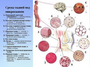 Срезы тканей под микроскопом А. Покровный эпителий (эпидермис): 1 - пласты клето