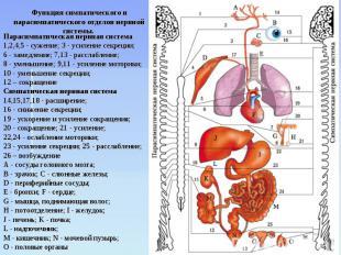 Функция симпатического и парасимпатического отделов нервной системы. Парасимпати