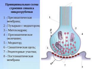 Принципиальная схема строения синапсамикротрубочки 1 - Пресинаптическая мембрана