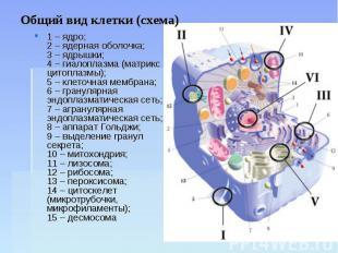 Общий вид клетки (схема) 1 – ядро;2 – ядерная оболочка;3 – ядрышки;4 – гиалоплаз