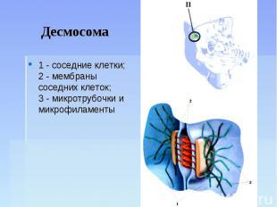 Десмосома 1 - соседние клетки;2 - мембраны соседних клеток;3 - микротрубочки и м
