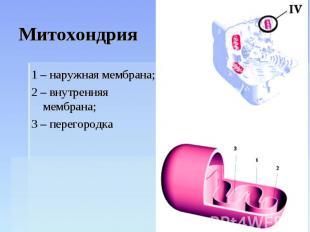 Митохондрия 1 – наружная мембрана;2 – внутренняя мембрана;3 – перегородка