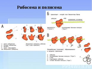 Рибосома и полисома
