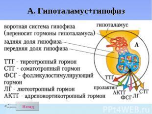 А. Гипоталамус+гипофиз