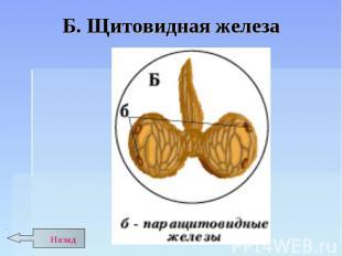 Б. Щитовидная железа
