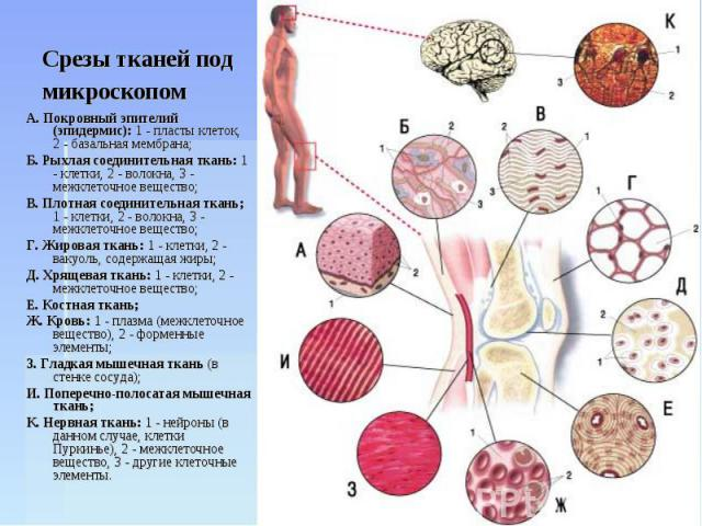 Срезы тканей под микроскопом А. Покровный эпителий (эпидермис): 1 - пласты клеток, 2 - базальная мембрана;Б. Рыхлая соединительная ткань: 1 - клетки, 2 - волокна, 3 - межклеточное вещество;В. Плотная соединительная ткань; 1 - клетки, 2 - волокна, 3 …