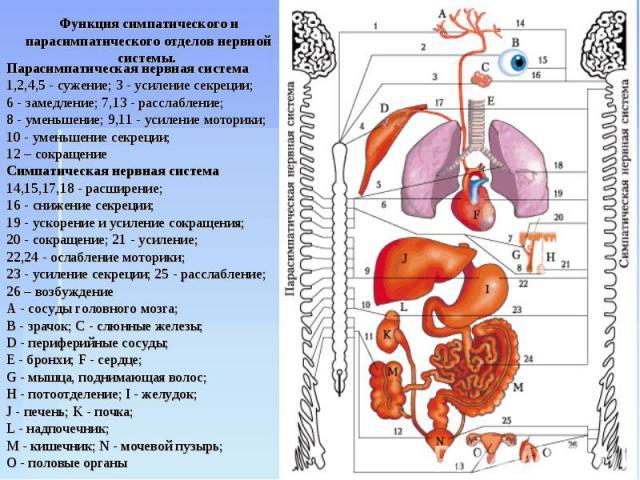 Функция симпатического и парасимпатического отделов нервной системы. Парасимпатическая нервная система 1,2,4,5 - сужение; 3 - усиление секреции; 6 - замедление; 7,13 - расслабление; 8 - уменьшение; 9,11 - усиление моторики; 10 - уменьшение секреции;…