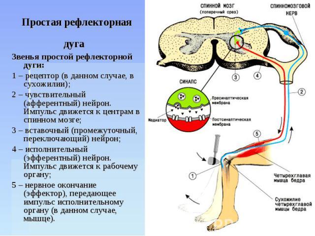 Простая рефлекторная дуга Звенья простой рефлекторной дуги: 1 – рецептор (в данном случае, в сухожилии); 2 – чувствительный (афферентный) нейрон. Импульс движется к центрам в спинном мозге; 3 – вставочный (промежуточный, переключающий) нейрон; 4 – и…