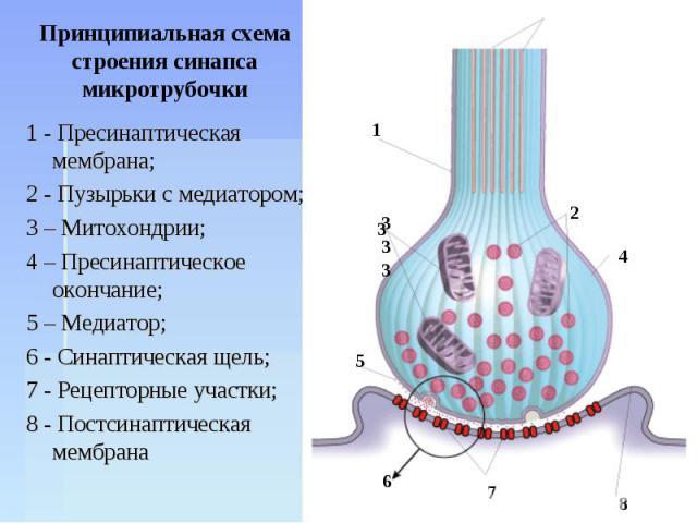 Принципиальная схема строения синапсамикротрубочки 1 - Пресинаптическая мембрана;2 - Пузырьки с медиатором;3 – Митохондрии;4 – Пресинаптическое окончание; 5 – Медиатор;6 - Синаптическая щель; 7 - Рецепторные участки;8 - Постсинаптическая мембрана