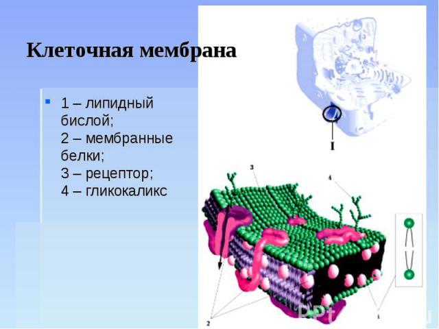 Клеточная мембрана 1 – липидный бислой;2 – мембранные белки;3 – рецептор;4 – гликокаликс