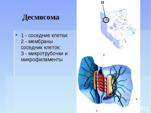 Десмосома 1 - соседние клетки;2 - мембраны соседних клеток;3 - микротрубочки и микрофиламенты