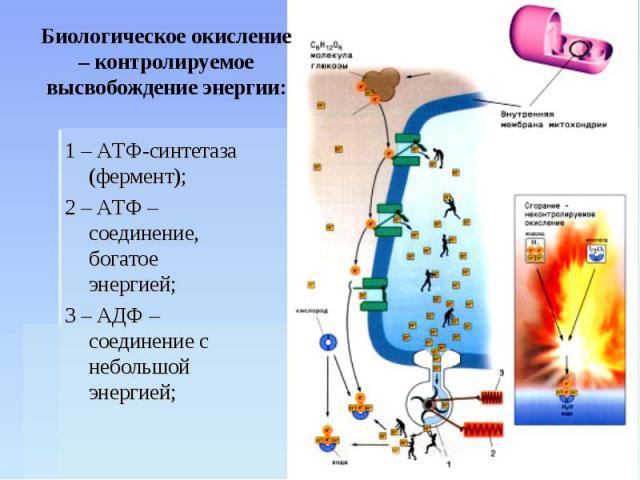 Биологическое окисление – контролируемое высвобождение энергии: 1 – АТФ-синтетаза (фермент);2 – АТФ – соединение, богатое энергией;3 – АДФ – соединение с небольшой энергией;