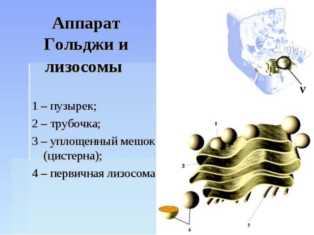 Аппарат Гольджи и лизосомы 1 – пузырек;2 – трубочка;3 – уплощенный мешок (цистерна);4 – первичная лизосома