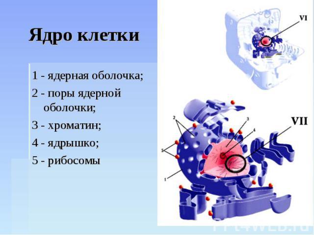 Ядро клетки 1 - ядерная оболочка;2 - поры ядерной оболочки;3 - хроматин;4 - ядрышко;5 - рибосомы