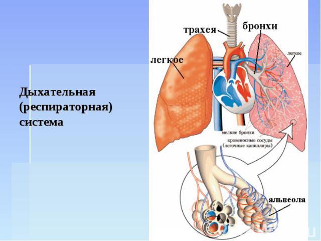 Дыхательная (респираторная) система