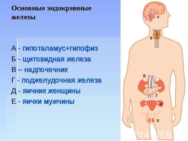 Основные эндокринные железы А - гипоталамус+гипофизБ - щитовидная железаВ – надпочечникГ - поджелудочная железаД - яичник женщиныЕ - яички мужчины