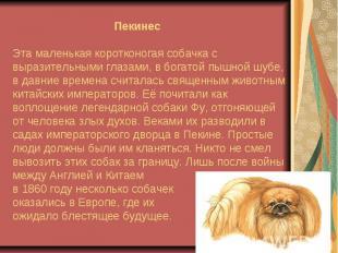 ПекинесЭта маленькая коротконогая собачка с выразительными глазами, в богатой пы
