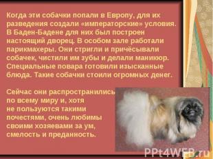Когда эти собачки попали в Европу, для их разведения создали «императорские» усл