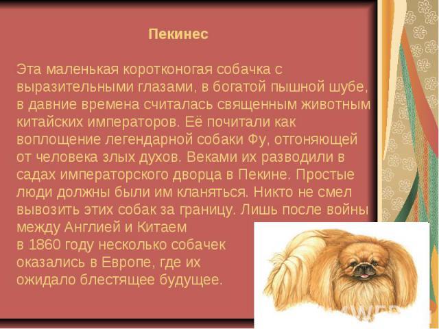 ПекинесЭта маленькая коротконогая собачка с выразительными глазами, в богатой пышной шубе, в давние времена считалась священным животным китайских императоров. Её почитали как воплощение легендарной собаки Фу, отгоняющей от человека злых духов. Века…