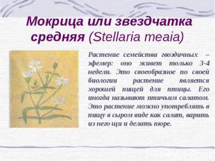 Мокрица или звездчатка средняя (Stellaria meaia) Растение семейства гвоздичных –