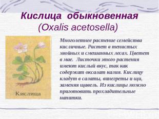 Кислица обыкновенная (Oxalis acetosella) Многолетнее растение семейства кисличны