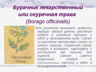 Бурачник лекарственный или огуречная трава (Borago officinalis) Это растение наз