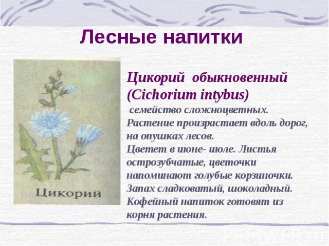 Лесные напитки Цикорий обыкновенный (Cichorium intybus) семейство сложноцветных. Растение произрастает вдоль дорог, на опушках лесов.Цветет в июне- июле. Листья острозубчатые, цветочки напоминают голубые корзиночки. Запах сладковатый, шоколадный. Ко…