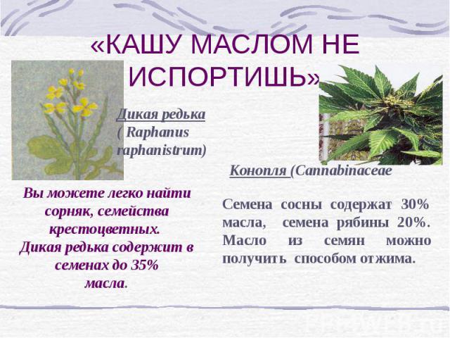 «КАШУ МАСЛОМ НЕ ИСПОРТИШЬ» Дикая редька ( Raphanus raphanistrum) Конопля (Cannabinaceae Вы можете легко найти сорняк, семейства крестоцветных. Дикая редька содержит в семенах до 35%масла.Семена сосны содержат 30% масла, семена рябины 20%. Масло из с…
