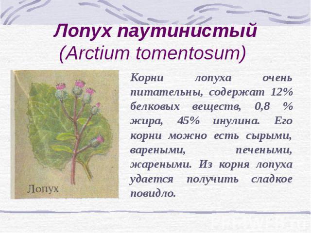 Лопух паутинистый (Arctium tomentosum) Корни лопуха очень питательны, содержат 12% белковых веществ, 0,8 % жира, 45% инулина. Его корни можно есть сырыми, вареными, печеными, жареными. Из корня лопуха удается получить сладкое повидло.