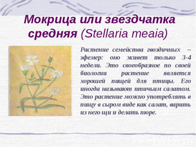 Мокрица или звездчатка средняя (Stellaria meaia) Растение семейства гвоздичных – эфемер: оно живет только 3-4 недели. Это своеобразное по своей биологии растение является хорошей пищей для птицы. Его иногда называют птичьим салатом. Это растение мож…