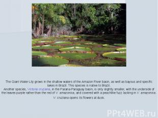 The Giant Water Lily grows in the shallow waters of the Amazon River basin, as w