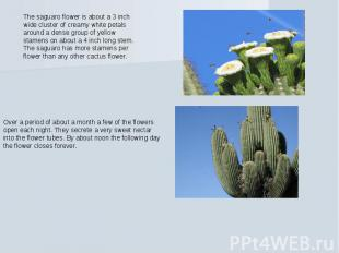 The saguaro flower is about a 3 inch wide cluster of creamy white petals around