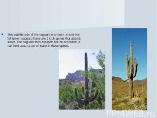 The outside skin of the saguaro is smooth. Inside the full grown saguaro there a