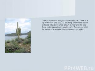 The root system of a saguaro is very shallow. There is a tap root that is only a