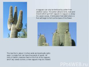 A saguaro can only be fertilized by pollen from another cactus. The pollen attra