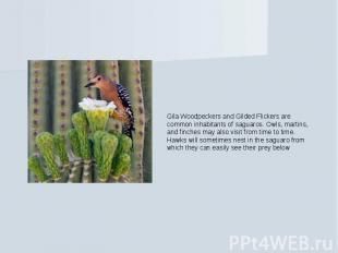 Gila Woodpeckers and Gilded Flickers are common inhabitants of saguaros. Owls, m