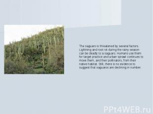 The saguaro is threatened by several factors. Lightning and root rot during the