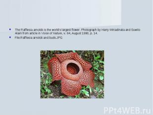 The Rafflesia arnoldii is the world's largest flower. Photograph by Harry Wiriad